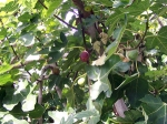See? Figs. IF no figs, then it's not the season for them.