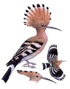 Isn't this an awesome bird?  it's latin name is Upupa Epops!