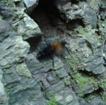 """wooly bear caterpillar, myth has it that one can predict the severity of the winter by the amount of dark """"fur"""""""