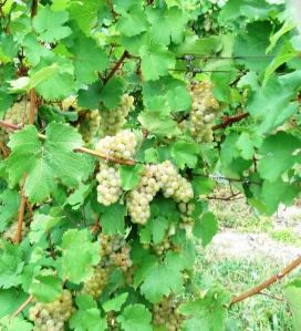 white champagne type grapes at McGregor