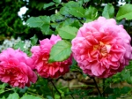 """a small pink/orange rose called """"Christopher Marlowe"""""""