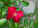 A simple red rose