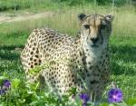Many more pics of the cheetahs taken