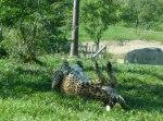 Cheetah rolling around