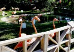 A trio of flamingos who tried to eat a girl's smart phone