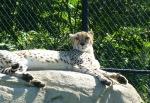 unimpressed cheetah