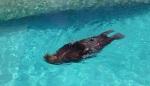 yep, a walrus swimming on its back
