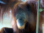 such intelligent eyes.  The Indy Zoo does a lot of research to keep orangs alive and not extinct.