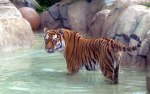 another tiger in their pool